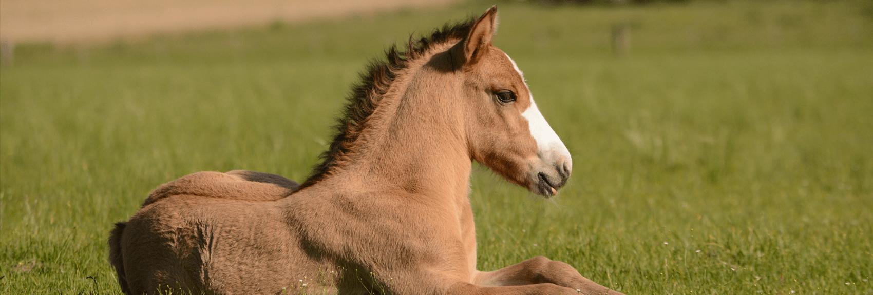 poulinières élevage Haras de Cordemais